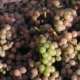 winobranie-Cassiopeia-2013-06