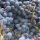 winobranie-Cassiopeia-2013-10