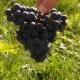 winobranie-Cassiopeia-2013-12