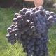 winobranie-Cassiopeia-2013-13