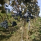 winobranie-cassiopeia-2013-26