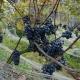 winobranie-Cassiopeia-2016-10