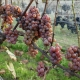 winobranie-Cassiopeia-2016-14