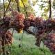 winobranie-Cassiopeia-2016-15