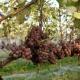 winobranie-Cassiopeia-2016-20