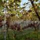 winobranie-Cassiopeia-2016-21