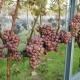 winobranie-Cassiopeia-2016-26