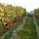 winobranie-Cassiopeia-2016-29