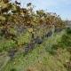 winobranie-Cassiopeia-2016-44