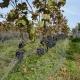 winobranie-Cassiopeia-2016-45