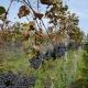 winobranie-Cassiopeia-2016-47