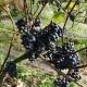 winobranie-Cassiopeia-2016-48